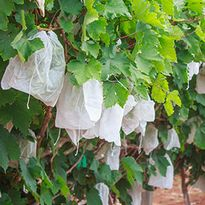 Protective Bags for Ripening Fruit